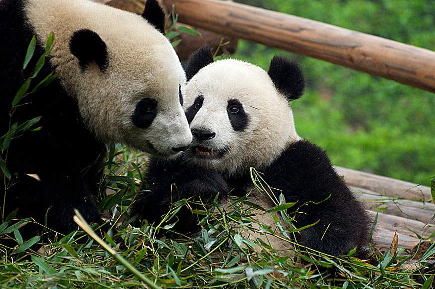 pandy_z_Instytutu_w_Chengdu[1]